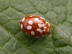 Ladybird-myrrha octodecimguttata (cream)