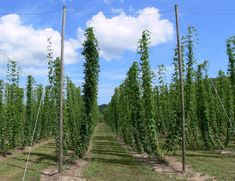 Hops on trellis with 'v' style stringing to increase plant density, light interception and length of vertical climb.