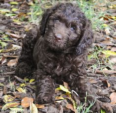 Darling chocolate Australian labradoodle puppy girl <3