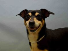PULLED BY HEAVEN CAN WAIT RESCUE NY - 11/19/15 - TO BE DESTROYED - 11/17/15 - HULK - #A1057695 - Urgent Manhattan - MALE BLACK & BROWN MIN PINSCHER/CHIHUAHUA SH, 4 Yrs - STRAY - ONHOLDHERE, HOLD FOR ID Intake 11/12/15 Due Out 11/15/15 - NERVOUS