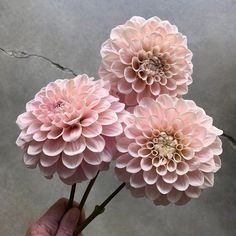 Sweet Natalie Dahlias - Blush (for chuppah) Blush Flowers, Rare Flowers, Beautiful Flowers, Cut Flower Garden, My Flower, Dahlia Flower, Growing Dahlias, Climbing Roses, Flower Aesthetic