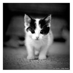 Animal Photography Black and White Kitten Photo ($20) liked on Polyvore featuring animals pictures backgrounds cats and pets
