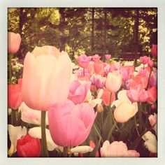 Tulips, The Botanical Gardens of the M.V.Lomonosov Moscow State University