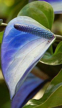 I never saw blue anthuriums! Exotic Flowers, Beautiful Flowers, Orquideas Cymbidium, Flamingo Flower, Foliage Plants, Plant Species, Garden Seeds, Planting Flowers, Potted Flowers