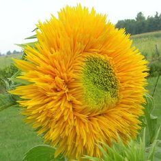 Teddy Bear dwarf sunflower. This variety grows up to 16 inches. We are planting 10 varieties of dwarf sunflowers as a temporary filler for the flower bed, as we can't plant bulbs until October or November in our hot desert climate.