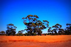 Researchers from Australia have discovered gold deposits on eucalyptus trees in the Outback.