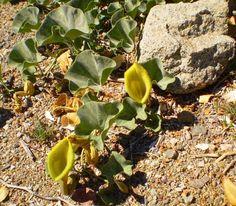 Flor carnívora en un terreno muy árido, sobreviviendo a la sequía...ruta Antakari, 4ta región, Chile