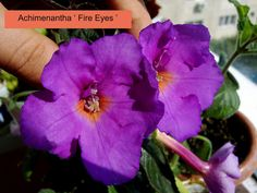 Achimenantha ' Fire Eyes '   by Serge Saliba