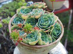 A sumptuous nest of succulents. My Secret Garden, Nest, Succulents, Green, Flowers, Plants, Succulent Plants, Royal Icing Flowers, Flower