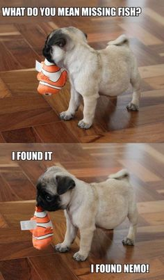 Pugs have a variety of facial expressions. For that reason, pug memes are funny and I hope these 101 dog memes featuring pugs bring a smile to your day! Funny Dog Memes, Funny Animal Memes, Cute Funny Animals, Funny Animal Pictures, Cute Baby Animals, Funny Cute, Funny Dogs, Wild Animals, Cat Memes