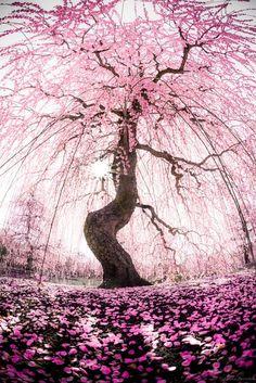 Cherry Blossom Shower ~ by Takahiro Bessho | Pink Tree Art | Nature Photography