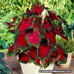Caladium Bulbs Florida Cardinal