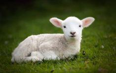 Little lamb spring grass sheep cute animals HD Wallpaper Baby Sheep, Cute Sheep, Sheep And Lamb, Cute Baby Animals, Farm Animals, Animal Babies, Cute Lamb, Cute Animal Illustration, Baby Lamb