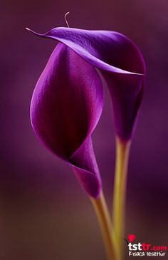 Purple Calla Lily: Purple calla lilies are royal flowers. The deeper purple calla lilies stand for power. Exotic Flowers, Amazing Flowers, My Flower, Purple Flowers, Beautiful Flowers, Lilies Flowers, Simply Beautiful, Beautiful Pictures, Lilly Flower