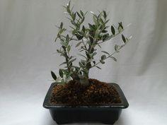Bonsai Olea europaea (Olive Tree), 14-15 years old, in square dark green bonsai pot, by Herber Plants Designs. December 2015.