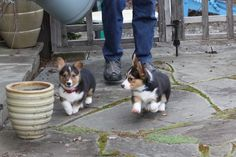 what could be better then a corgi puppy? Two. Z