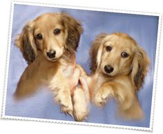 Pedigree Miniature Dachshunds puppies for sale. Dachshund