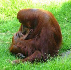palm oil and orangutans | Eat Drink Better | Palm Oil Plantations, Orangutan Extinction, and ...