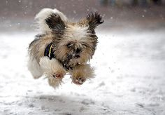 A young blind pup named Guido from Boulder frolics through Vail Village, Colo., in snow for the first time Saturday, Nov. 26, 2005, during the beginning of a series of snowstorms. (AP Photo/Vail Daily, Shane Macomber)