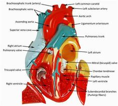 Heart Model Labeling With Answers