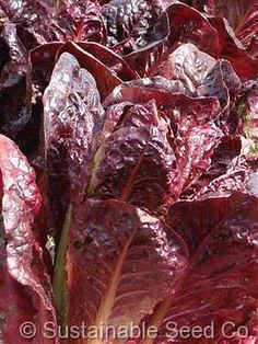how to clean lettuce seed
