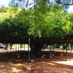 Centuries old tree at Jardim Botânico da Ajuda, Lisbon, Portugal.