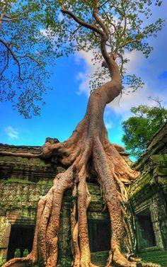 Silk Cotton Tree in Cambodia