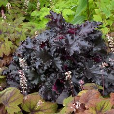 One of the finest foliage plants ever bred, 'Black Taffeta' has rich, velvety-black petals that are deeply ruffled. Loves heat and humidity.