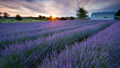 The Miracle of Lavender Essential Oil - Hippy Summer Aromatherapy 101 Series