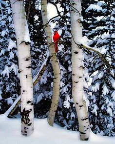 Winter Trees Birch Birch Trees Bird Red Cardinal by ImagineStudio. This kind of image would make me miss winter, if I lived in the tropics. Winter Szenen, I Love Winter, Winter Trees, Winter Christmas, Winter Season, Winter Magic, Christmas Decor, Merry Christmas, Hirsch Illustration