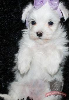 Maltese puppy - Lauralee