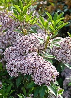 Kalmia latifolia 'NANI' - Havlis.cz Kalmia Latifolia, Gardens, Plants, Outdoor Gardens, Plant, Garden, House Gardens, Planets