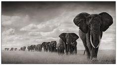 Google Image Result for http://favim.com/orig/201105/09/africa-animal-animals-art-black-and-white-concept-Favim.com-38993.jpg