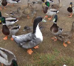 duck breeds swedish duck domestic breed - Duck Breeds