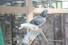 Pigeon Pictures, Homing Pigeons, Pigeon Breeds, Racing, Bird, Animals, Pigeon, Running, Animales