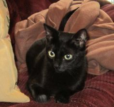 Jenny is an adoptable Domestic Short Hair-black searching for a forever family near Longview, TX. Use Petfinder to find adoptable pets in your area.