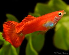 Here a long list types of amazing Guppy in the world. Guppy, Tropical Aquarium, Tropical Fish, Beautiful Fish, Beautiful Pictures, Freshwater Aquarium Fish, Fresh Water, Underwater, Fish Room