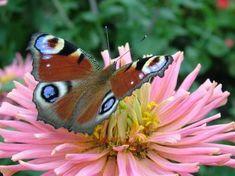 nazar boncuklu kelebek