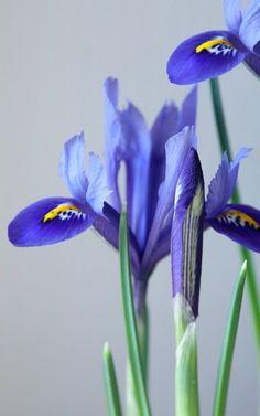 Iris Reticulata, Dan Pearson, Spring Blooms, Love Blue, Experiment, Bulbs, Flowers, Gardens, Slim