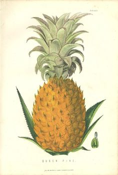 QUEEN PINE by James Anderson c.1875