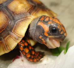 Redfoot Tortoise- This makes me miss my Cooper. He was the sweetest!