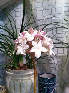 Flor de Biznaga de Malaga