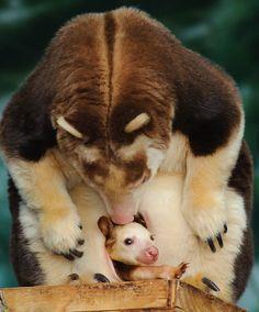 "~~ ""Joey"" to the World! ~~ mama and baby tree kangaroos ~~"