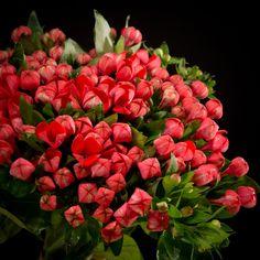 Certi Bouvardia Fire Red, rood, boeket, bloemen, Certi #Bloemen, #Planten, #webshop, #online bestellen, #rozen, #kamerplanten, #tuinplanten, #bloeiende planten, #snijbloemen, #boeketten, #verzorgingsproducten, #orchideeën