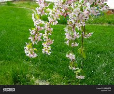 Weeping Cherry Blossoms dangle in the spring time breeze.©Photo copyright by Marty Nelson. Photographer website:   http://www.bigstockphoto.com/search/?start=150&contributor=Marty+Nelson+Photo+Art&safesearch=n
