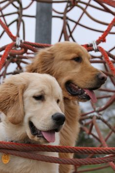 . .These dogs have the colouring of our Toby and Bella.
