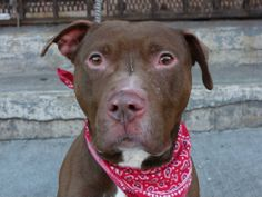 SUPER URGENT     - Brooklyn Center   JAX - A0989503  *** SAFER: NH ONLY ***   MALE, BROWN, PIT BULL MIX, 3 yrs  Jax is a bit shy at first, but quickly warms up and is very focused on the human he is with. Gentle, well mannered, and affectionate. Loves to be petted. Good with other dogs. Housetrained. https://www.facebook.com/photo.php?fbid=743313875681494&set=a.740759632603585.1073742857.152876678058553&type=3&theater