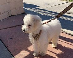 Puppies for sale   Etsy Shih Tzu Breeders, Puppies For Sale, Etsy
