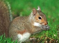 eastern gray squirrel pictures