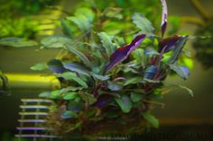 Bucephalandra- Multicolour Metallic Theia Check out exoaquaristic.com.au for more buces